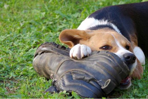 Tomkas dog brought a shoe