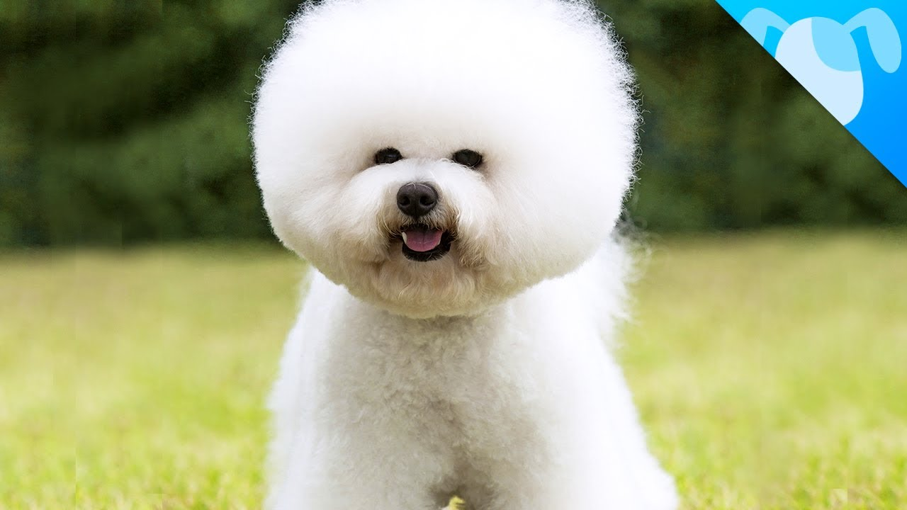 Bichon Frise Apartment Dog