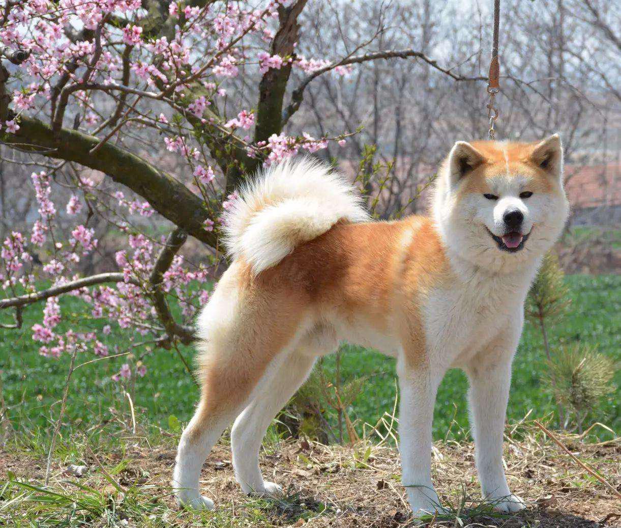 Akita Dog Tomkas