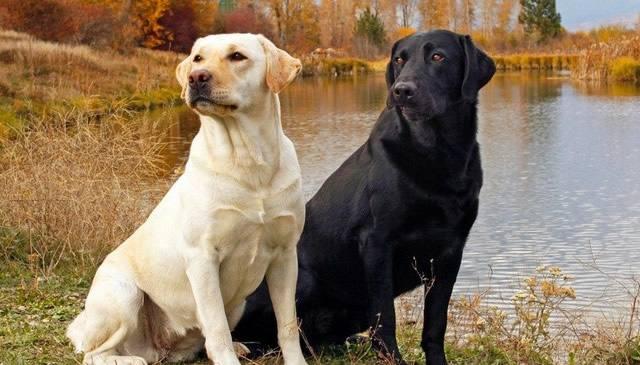 Labrador TOMKAS