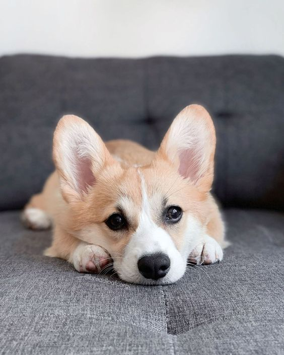 Seven characteristics of corgi's personality teach you how to understand the corgi